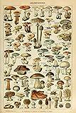 Mushrooms - C - Vintage Bookplate - Adolphe Millot Artwork (9x12 Art Print, Wall Decor Tra...