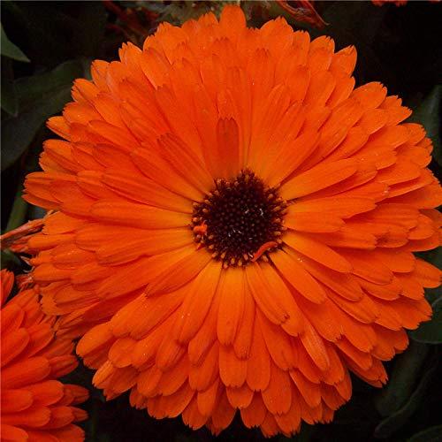 Promworld Wildblumenwiese,Ringelblumensamen-ausgezeichnet_1g,Blumensamen winterhart mehrjährig