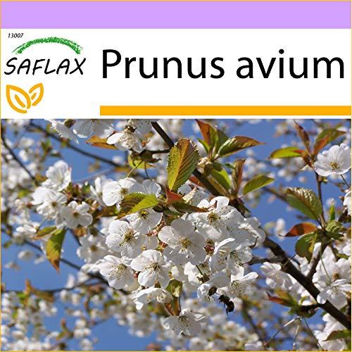 SAFLAX - Cerisier des oiseaux - 10 graines - Prunus avium