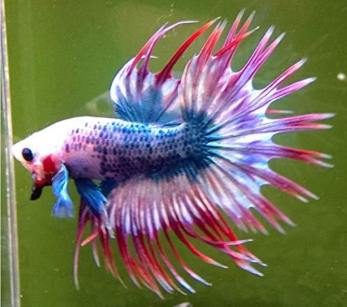 【熱帯魚・ベタ】 クラウンテール・ベタ オス 色おまかせ ■サイズ:アダルト (3匹)