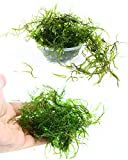 Live Aquarium Plants Java Moss for Freshwater Fish Tank Decorations use Green Moss Create a Moss Wall or Moss Carpet and Moss Driftwood Decor - Soft and Comforting for Fish (3' Cup x1)