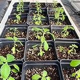 Holy Basil (Kapoor Tulsi) Plant - Organic and All Natural Grown - 3.5 inch pots