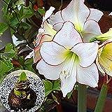 2 Piezas Raro Blanco Amarilis Bulbos Para Plantar Flores Perennes Frescas Espectaculares Hippeastrum Bulbos De Flores Floración Interior Decoración De Jardinería