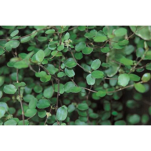 Mühlenbeckia complexa kleinblättrig - winterhart, im Topf 12 cm, in Gärtnerqualität von Blumen Eber - 12cm