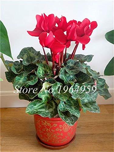 Pinkdose Bonsai Blumen Pflanze Bonsais Indoor Topf Balkon Alpenveilchen Bonsais Mischfarben Beauty Your Home Garden 100 Stück/Beutel: 13