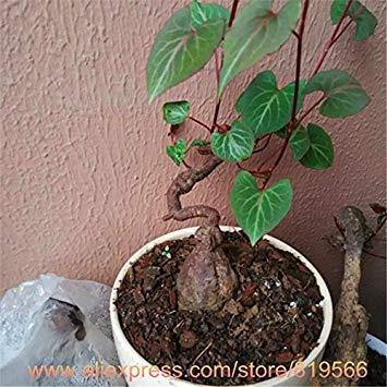 ASTONISH SEEDS: Las semillas 100pcs / bolsa de yuca, semillas de flores, plantas bonsai al aire libre, la germinación Tasa de 98{90316cef486ec81e1fcd4d39607eeb2ba8ce371f144192242d3fef43917a7a13}, plantas en macetas para el jardín de