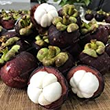 Item package quantity: 1 Seeds pack-easy to grow 20 pcs garcinia mangostana bonsai evergreen tree family clusiaceae purple mangosteen fruit bonsai rate 95% garden fruit plant Fit for any weather conditions We ship internationally