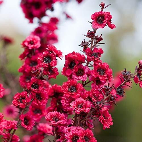 30pcs / sac rares Graines manuka Fleur incroyable Garden Bonsai usine Flower Tree Seeds cadeau pour la maison jardin