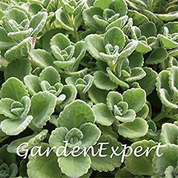 Vista 100 stücke Grün Kubanischen Oregano Samen Mexikanischen Thymian Indische Borretschsamen Spanische Thymian Mehrjährige Kräuterpflanze Garten Bonsai