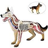 Modelos Biología del Perro del Lobo anatómico Esqueleto de Animal Anatomía El Cuerpo de 29 Desmontable Puzzle Conexión En Juguetes Educación Médica