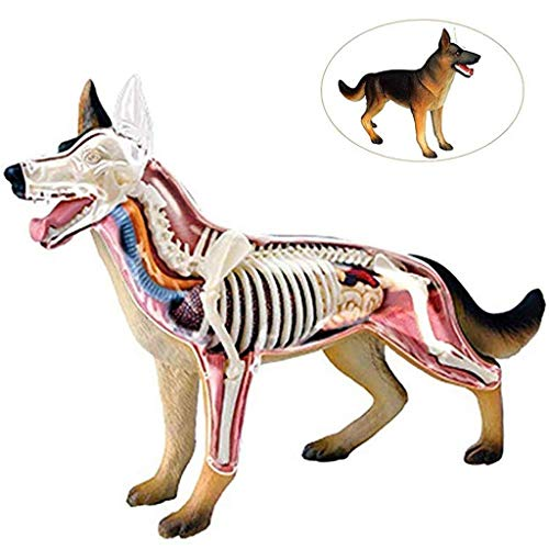 Modelle Hund Wolf Anatomisches Tier Biologie Skelett Anatomie Der Körper 29 Abnehmbare Puzzle Connection On Toys Medical Education