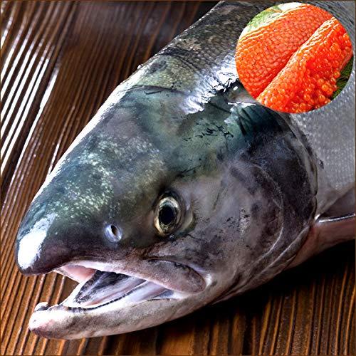 北海道産 生秋鮭 3.5kg(メス/筋子付き) 鮭 秋鮭