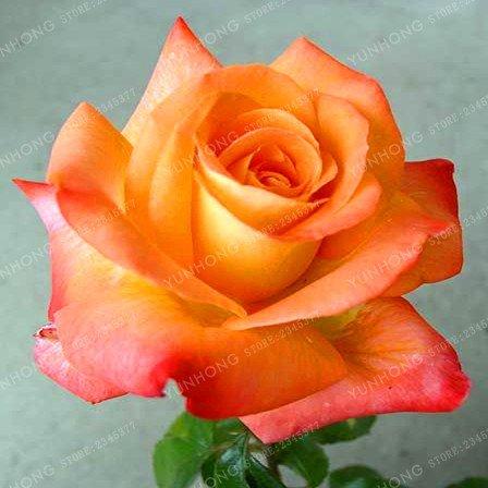 50 Pcs/Sac rares Graines Rose 24 couleurs au choix Belles graines de fleurs vivaces Balcon Jardin en pot Plante bricolage jardin 4