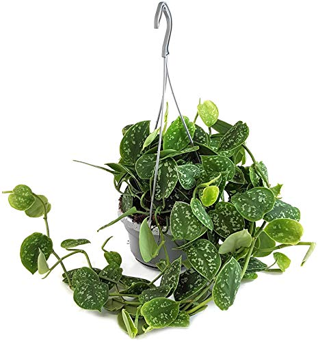 Fangblatt - Scindapsus Pictus - gefleckte Efeutute - hängende Zimmerpflanze und ideale Ampelpflanze für die Wohnung