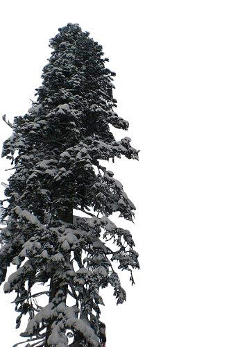 20 Samen der \'\'echten Nordmanntanne\'\' -Abies nordmanniana- -Beliebtester Weihnachtsbaum- >Frisches Saatgut<