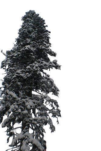 20 Samen der ''echten Nordmanntanne'' -Abies nordmanniana- -Beliebtester Weihnachtsbaum- >Frisches Saatgut<