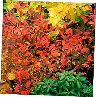 DAG 1 Bare Root Itea 'Henry's Garnet' Virginia Sweetspire - RK410