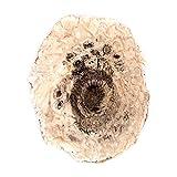 Araukarien-Zapfen gesgte disco 52 x 66 x 3 mm