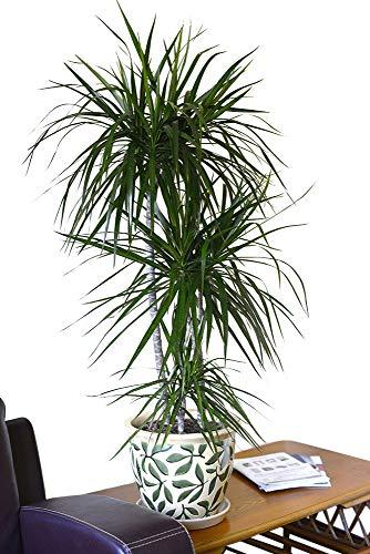 Plante d'intérieur - Plante pour la maison ou le bureau - Dracaena marginata - Dragonnier de Madagascar, hauteur 1,4 m