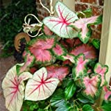 We ship quality seeds It is an imported product High Germination quality 30 Pcs Caladium Indoor Plants Seeds Florida Caladium Bicolor Seeds Bonsai Colocasia Plant Rare Flower Seeds For Home Garden