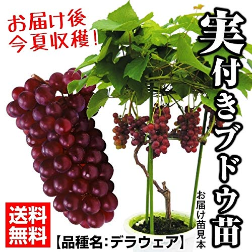 国華園 果樹苗 ブドウ デラウェア 実つき 1株 21年春商品