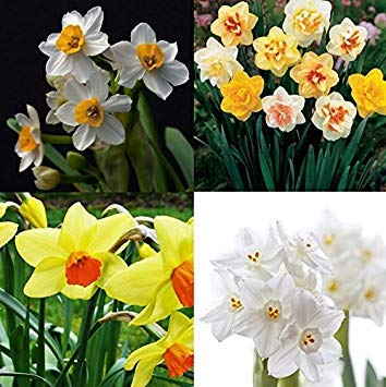 Vista 400pcs jonquille mixte Double Narcisse Duo Bulbes Graines De Printemps Plante Fleur Bd80