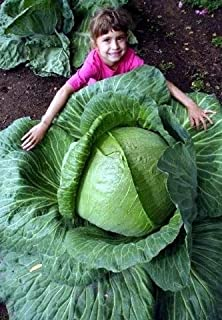 Vegetable Seeds - 50 Seeds of Huge O-S Cross Giant Cabbage - 70lb Head