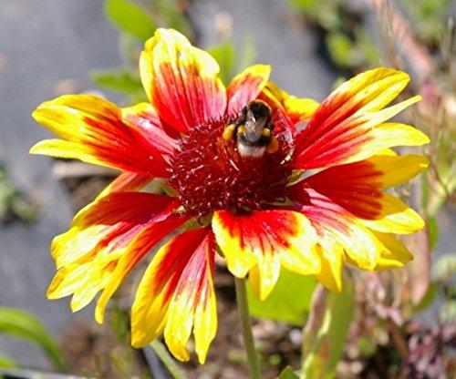 Gaillardia aristata Kobold - Kokardenblume - Preis nach Stückzahl 3 Stück