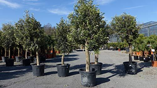 Olivenbaum Olive \'20 Jahre\' 170-190 cm, beste Qualität, winterhart, Olea Europaea