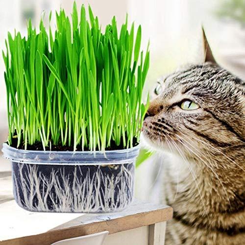 1 Sacchetto Di Semi Di Erba Di Gatto Freschi E Prolifici Piccoli Semi Di Piante Vitali Per Semi Di Piante Da Giardino Semi di erba gatta