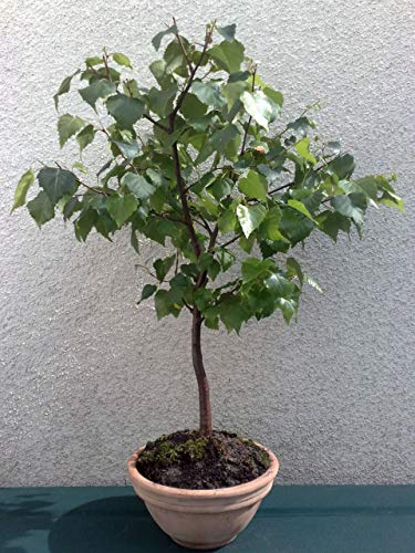 Hausgarten Pflanze Bonsai Samen 50PCS White Birch Samen Silver Birch Betula pendula Baumsamen