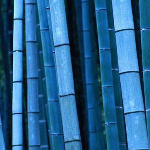 Keland Garten - China Moso Bambus (Phyllostachys pubescens) Samen Riesenbambus starkwüchsig frosthar, geeignet für Garten, Teich, zum Hausbau, Gerüstbau, für Möbel, Zäune