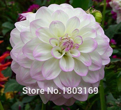 100pcs rares Graines Blanc Rouge Dahlia 2016 Graines de Charme Fleur chinoise Plantes Bonsai pour l'expédition Garden gratuit