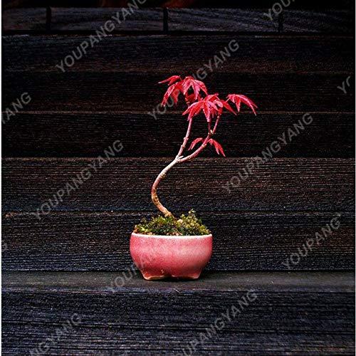 Shopmeeko 20 Ahornpflanzen Roter Ahornbaum Pflanzen Japanischer Ahorn-Bonsai Für Zuhause GARTEN Pflanzen Einfach Wachsen Selten Baumpflanzen Bonsai-Pflanzen: Grün der Armee