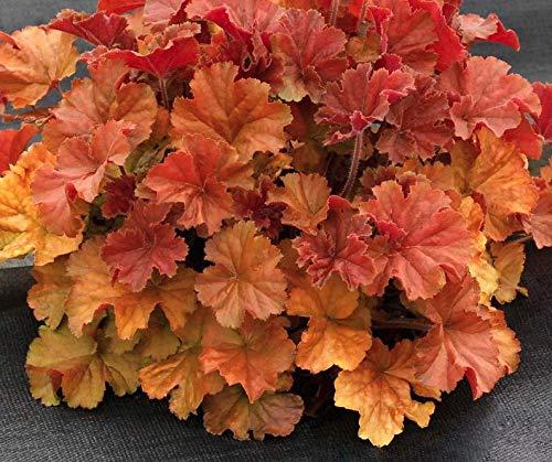 1 heuchera Northern Exposure Amber Coral Bells Live Plant