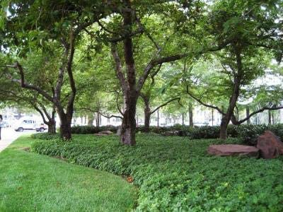 Pachysandra terminalis Max 72% OFF 50 Root Bare Plants Ultra-Cheap Deals