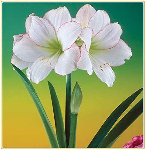 Bulbos verdaderas Amaryllis de los bulbos de flores, bulbos de Bonsai Hippeastrum para el hogar y jardín bulbos de marihuana Barbados flor del lirio/2bulbos-3