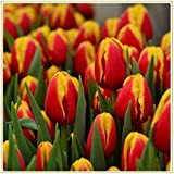 Tulpenzwiebeln,Die Blumen,Tulpenzwiebel Blumenzwiebelgarten Seltsame Tulpen in voller Blüte mit gelben und roten Blüten beleuchten den Garten auf charmante Weise-15zwiebeln