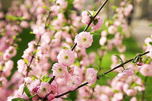Mandelbäumchen Prunus triloba Pflanze 5-10cm Mandelstrauch blühende Mandel