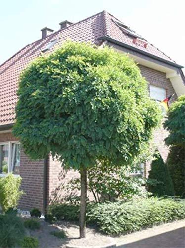 Qulista Samenhaus - 20pcs Rarität Kugel-Robinie Kugelakazie Baumsamen Saatgut winterhart mehrjährig, Perfekt für Balkon, Terrasse und kleinere Gärten