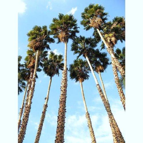 WASHINTONIA ROBUSTA @ mexikanischen Fächerpalme Zierpalmen Pflanzensamen 25 Samen