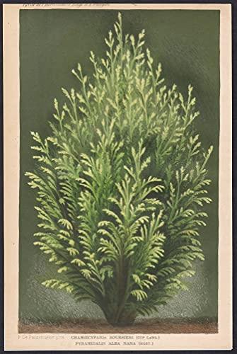 Chamaecyparis Boursieri Pyramidalis Alba Nana - flower Blume Blumen botanical Botanik Botany
