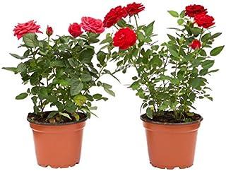 comprar comparacion Rosal Mini Planta Rosas Natural con Maceta con Flor de Colores Surtidos