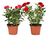 Rosal Mini Planta Rosas Natural con Maceta con Flor de Colores Surtidos