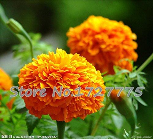 Graines de chrysanthème fleurs vivaces ont augmenté les graines de calendula roses longues pleines de réelle graines de marguerite 200 particules / sac