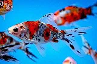Chalily Live Goldfish - Live 3-4 inch Shubunkin Goldfish for Pond or Aquarium