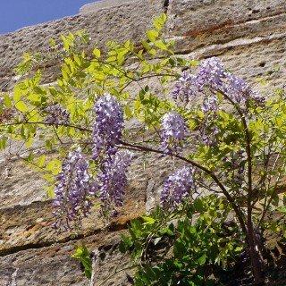Blauregen - Wisteria sinensis - Wisteria - Glyzinien