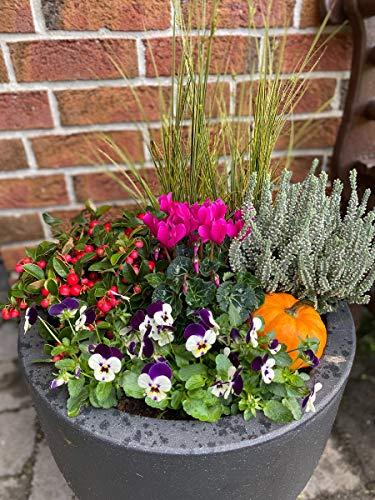 Herbst Blumen-Set für Kübel und Balkonkasten. 8 Pflanzen + Zierkürbis, Farbenfrohe Herbstblüher, Scheinbeere, Hornveilchen, Gräser, Sunset Girl, Zierkürbis & Alpenveilchen.