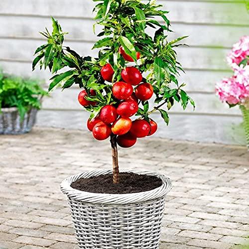 """Zwergnektarine \""""Zwergenstar\"""" Pflanze im Topf * nachhaltige und biologische Qualität"""