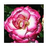 Rosa Climbing Rose 'Handel' Containerised